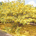 Cận cảnh cây mai được trả giá 2 tỷ ở Đồng Nai của admin Tekzoom