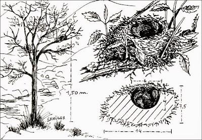 nidos de viuditas