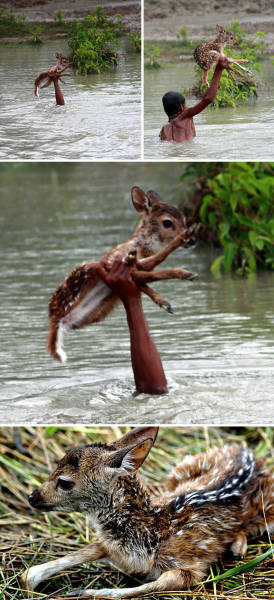 Heroic Boy Risks His Life To Save A Drowning Baby Deer From Floodwaters In Bangladesh.