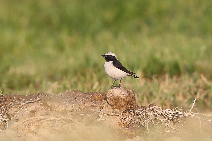 Desert birds and migrants – Haradh