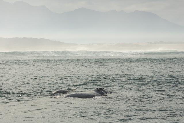 Ballena cría acompañada de su madre en Hermanus, Sudáfrica