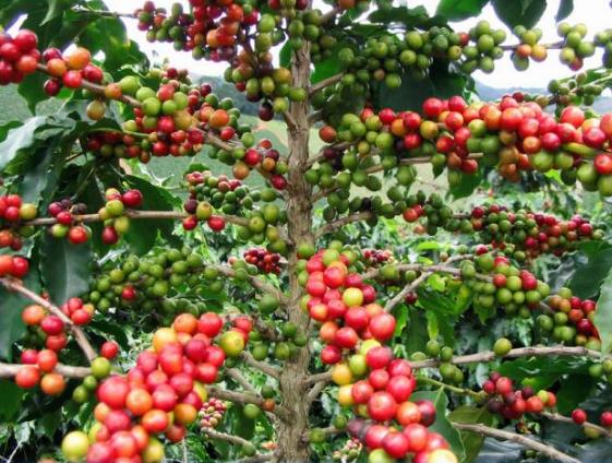 Buni fruit began to be rare