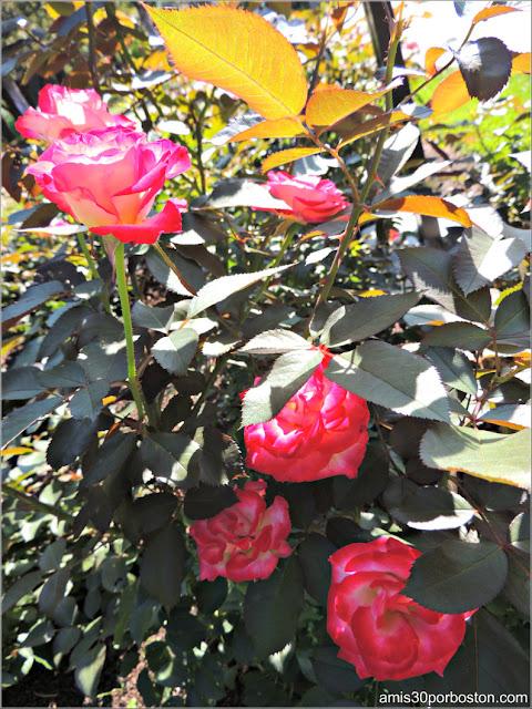 Jardín Botánico de Montreal: Rosaleda