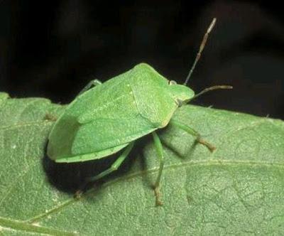 cimice-verde