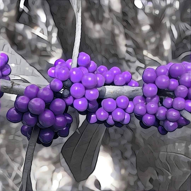 American beautyberry at Long Key Nature Center in Davie, FL
