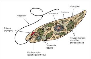 Diagram Euglena sp