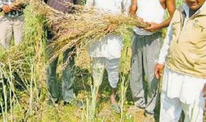 %% चूरू जिले के लगभग 92 हजार किसान अकालग्रस्त घोषित गहलोत सरकार द्वारा जल्द मिलेंगा  मुआवजा