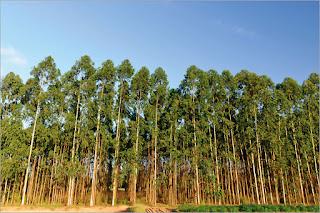Hızlı Büyüyen Ağaçlar