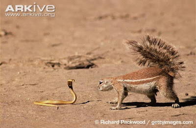 South African ground Squirrel and Cape Cobra