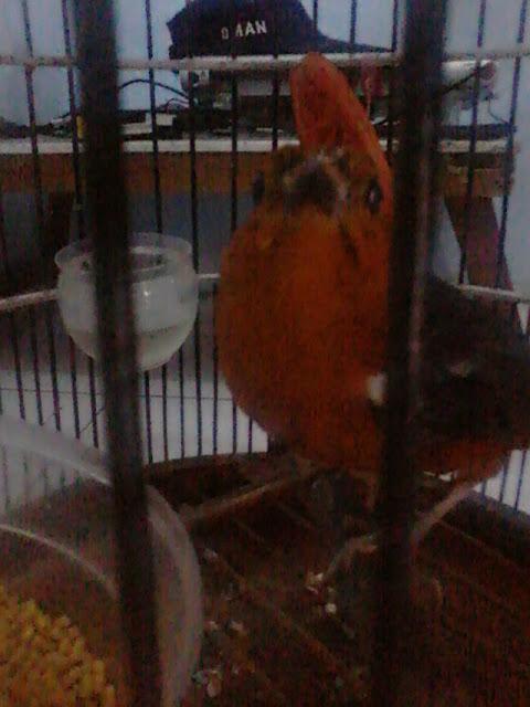 ya yang biasa dikeluhkan para pencinta burung berkicau ialah katarak mata Penyakit Yang Sering Menyerang Burung Anis Merah