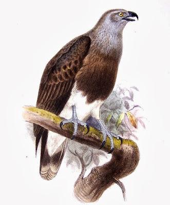 Pigargillo menor Ichthyophaga humilis