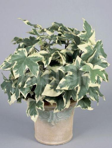 Fatshedera lizei Araliaceae