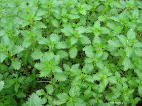Συνταγές φυτικών παρασκευασμάτων για φυτοπροστασία-Λίπασμα τσουκνίδας
