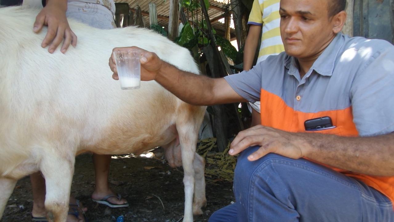 Bode que fornece leite