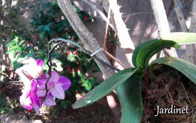 Haste floral secando na phalaenopsis