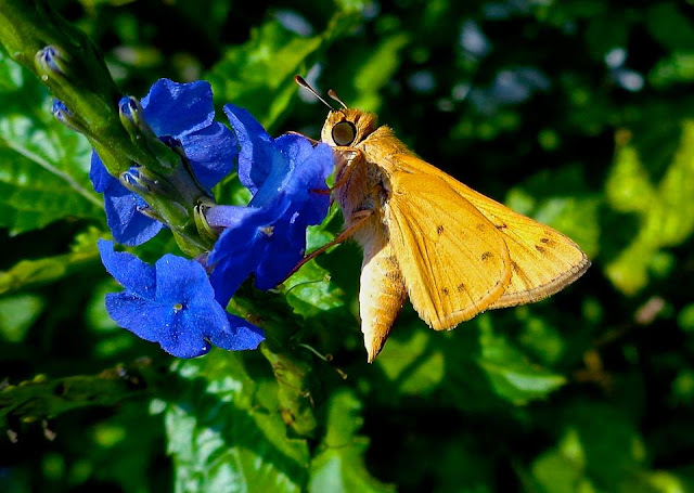 Skipper on porterweed