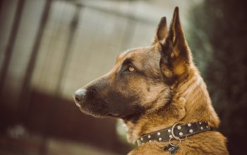 Wallpaper: German Shepherd