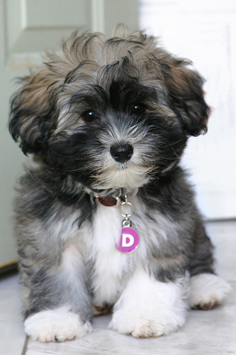 Havanese dog Puppies