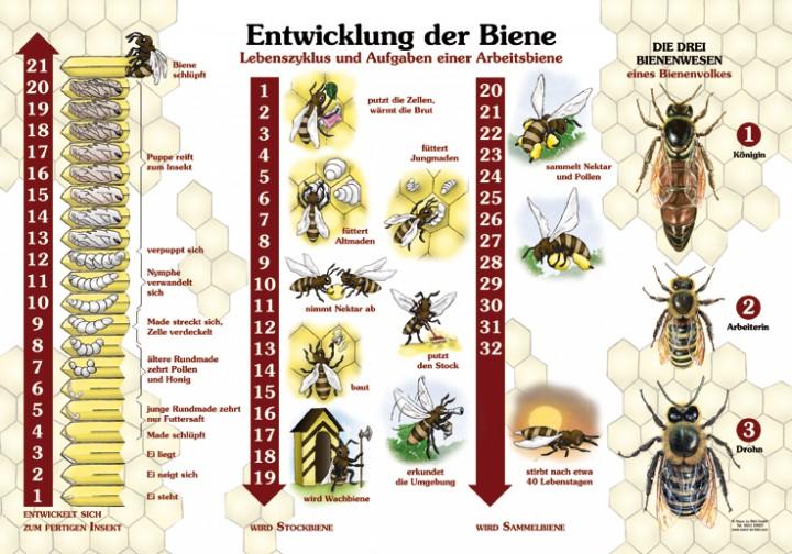 corona apicultores ciclo de vida de las abejas. Black Bedroom Furniture Sets. Home Design Ideas