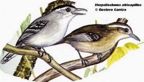 Tiluchí plomizo, Herpsilochmus atricapillus