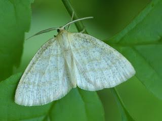 Cabera erythemaria