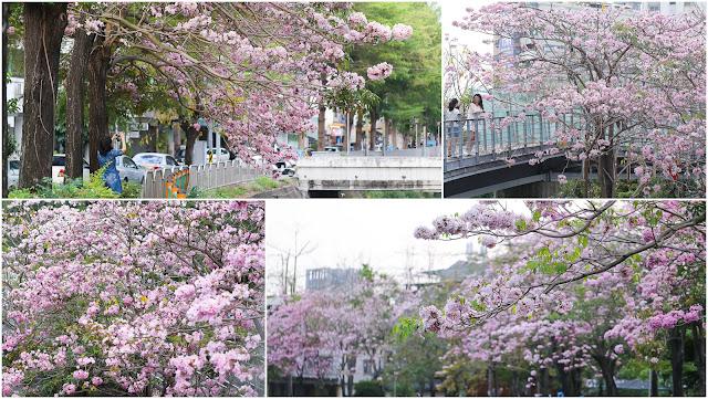台中南區中興大學綠園道-洋紅風鈴木