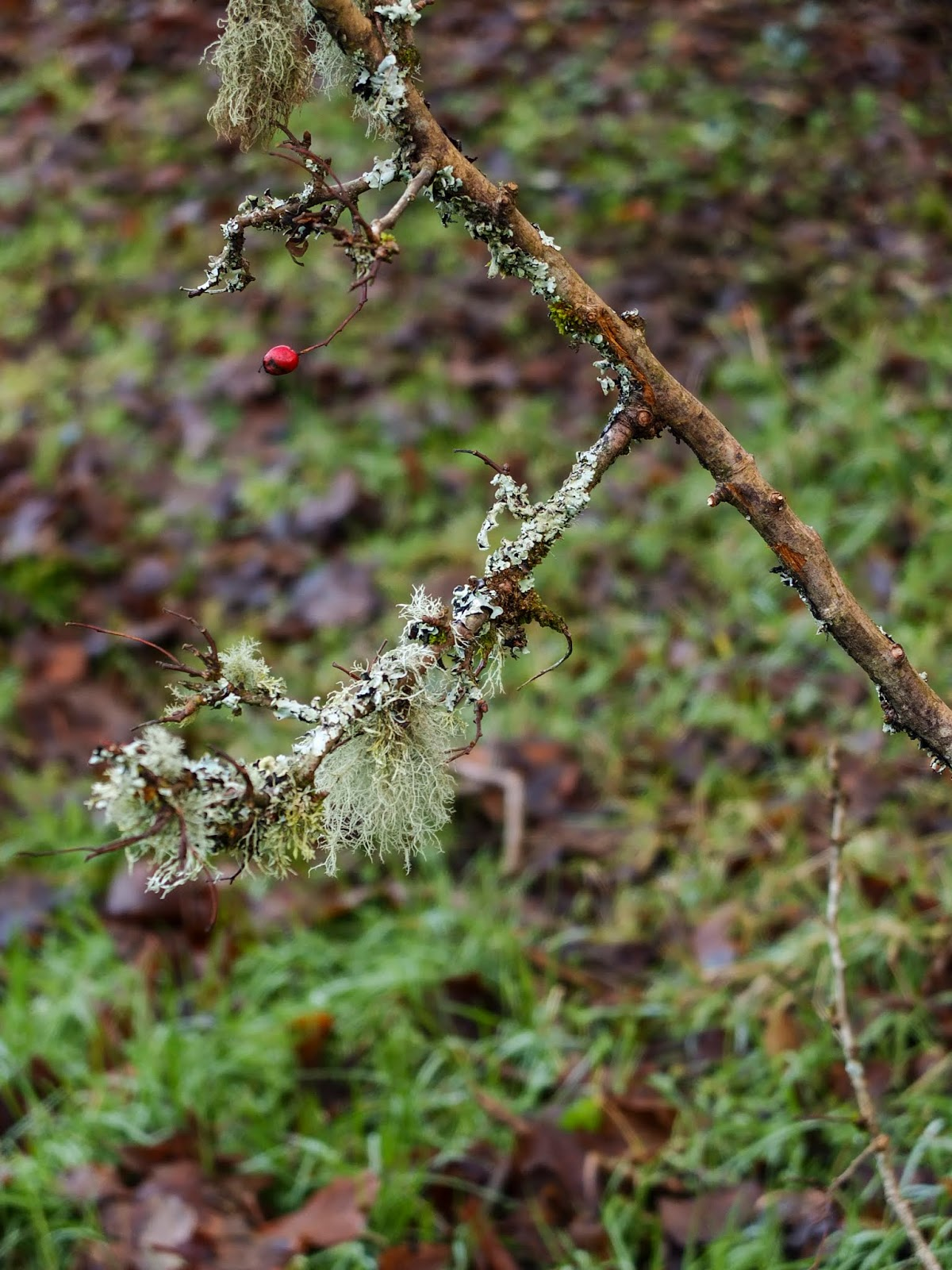 A branch of a shrub covered in light green moss.
