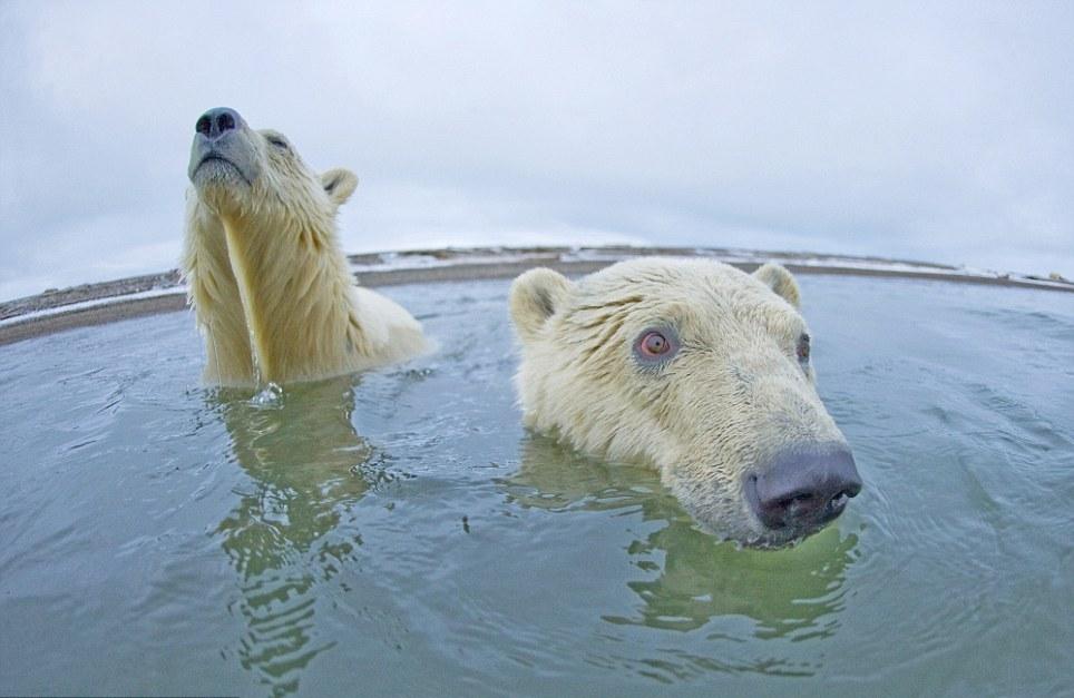 الدببة القطبية 0_94f09_d0e9f791_ori