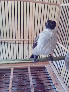 Burung Kutilang biasa