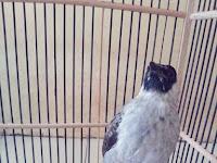 5 Jenis Burung Kutilang Kicau Merdu