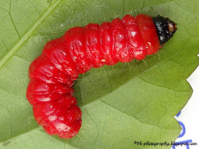Red Caterpillar
