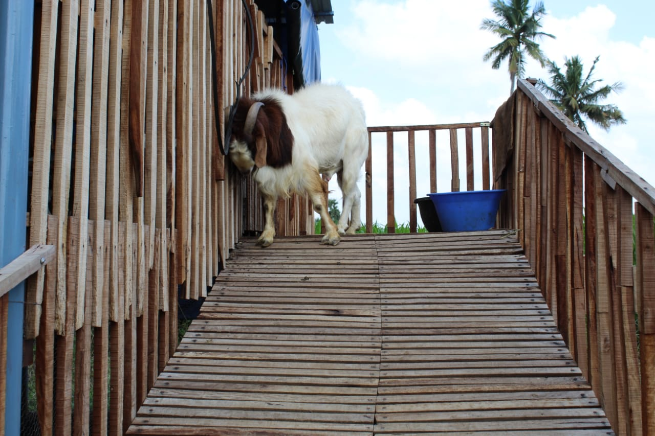 kumar farms: Boer goat