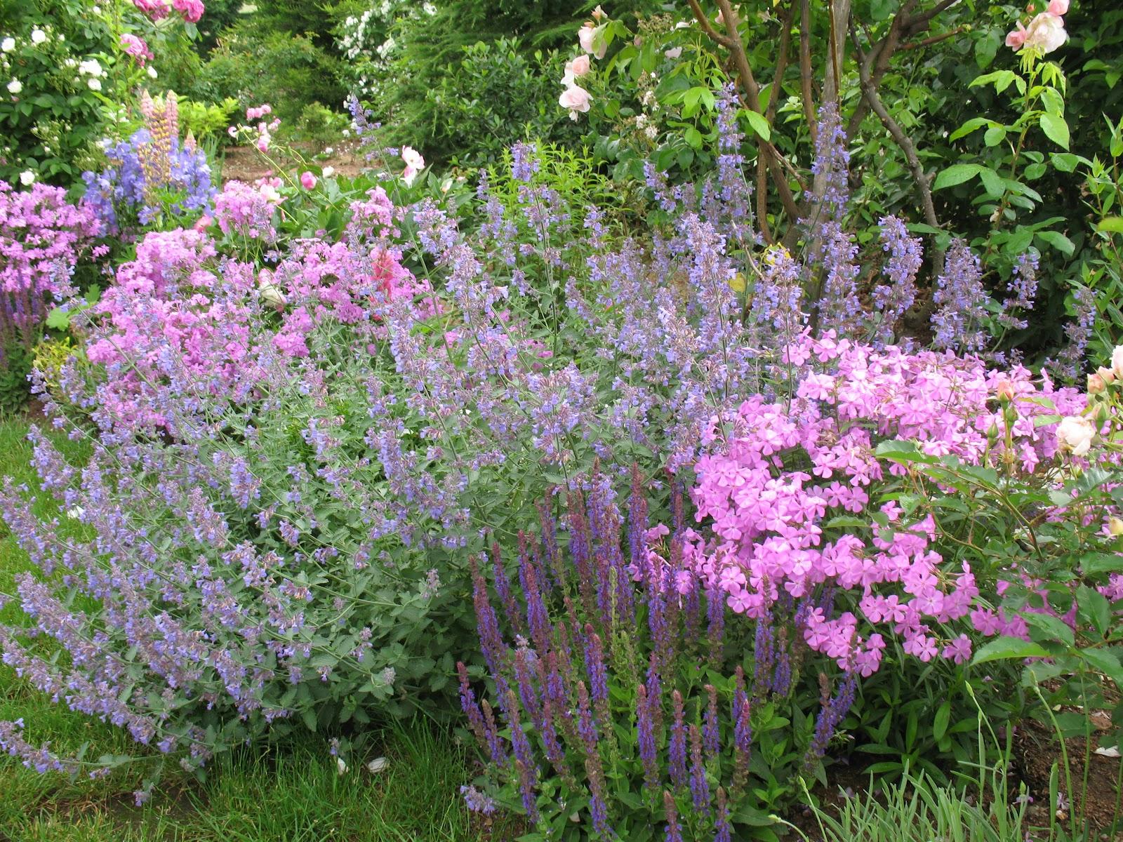 Roses du jardin ch neland sauge nemorosa lubeca - Planter de la sauge ...