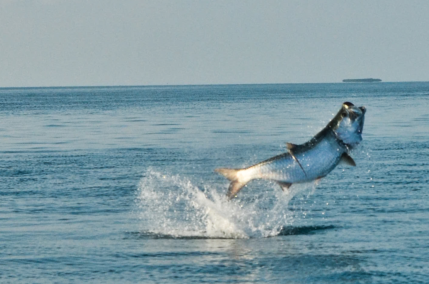 Download Tarpon Wallpaper Gallery