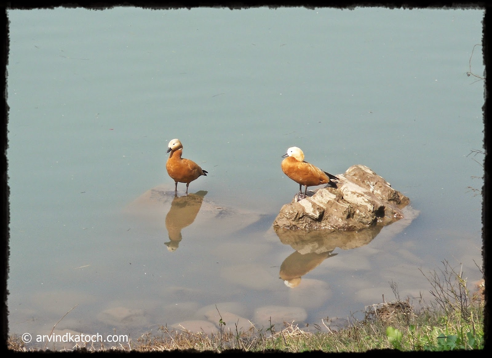 Ruddy Shelduck,