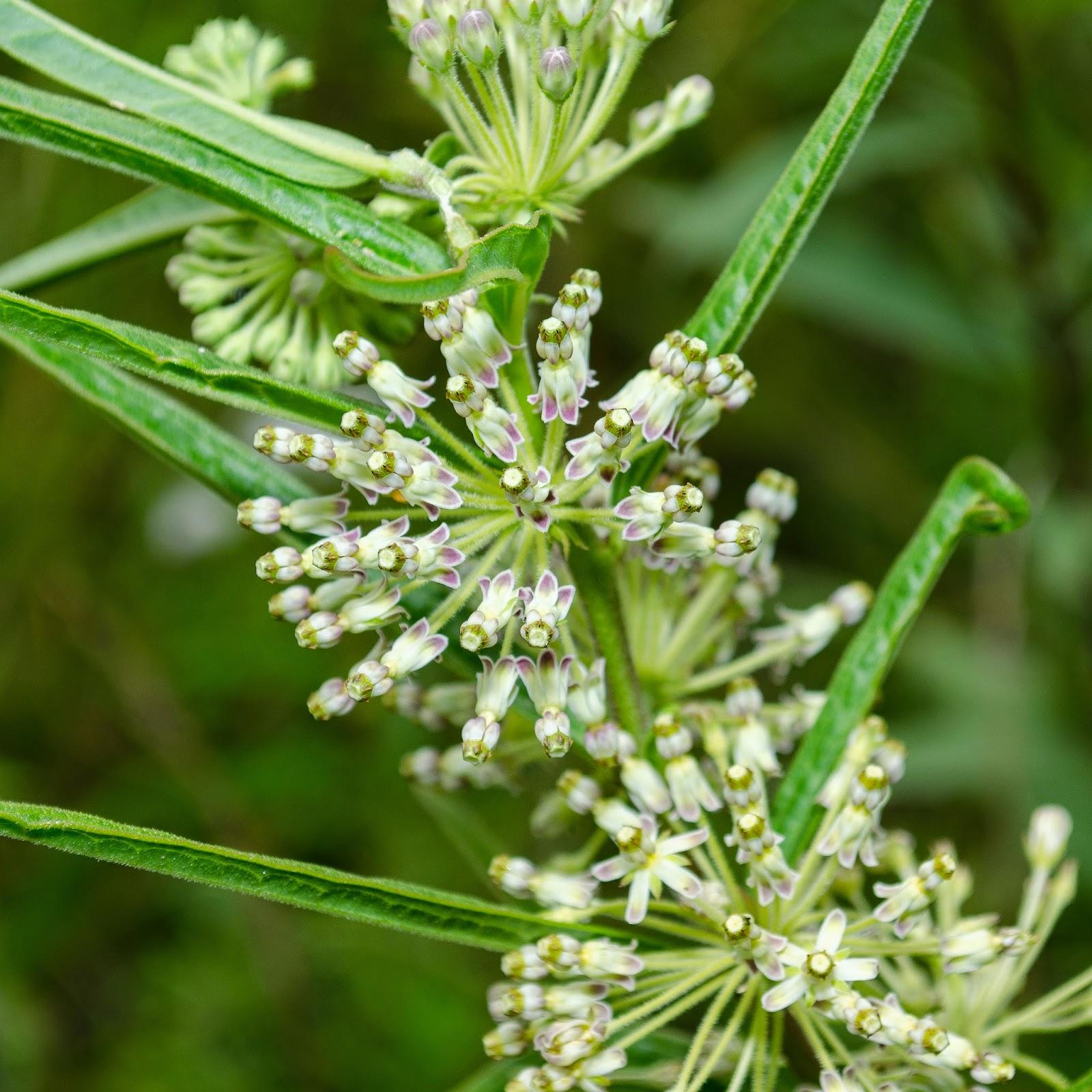 Tall Green Milkweed, Asclepias hirtella