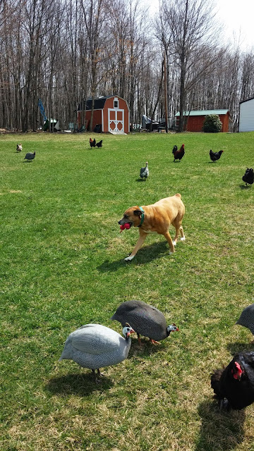 Do your pets and chickens get along?