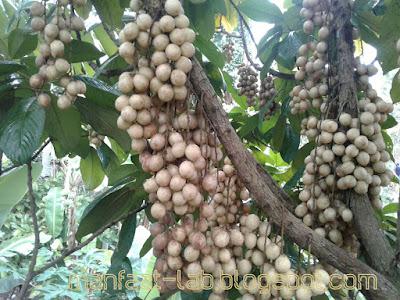 buah rambe