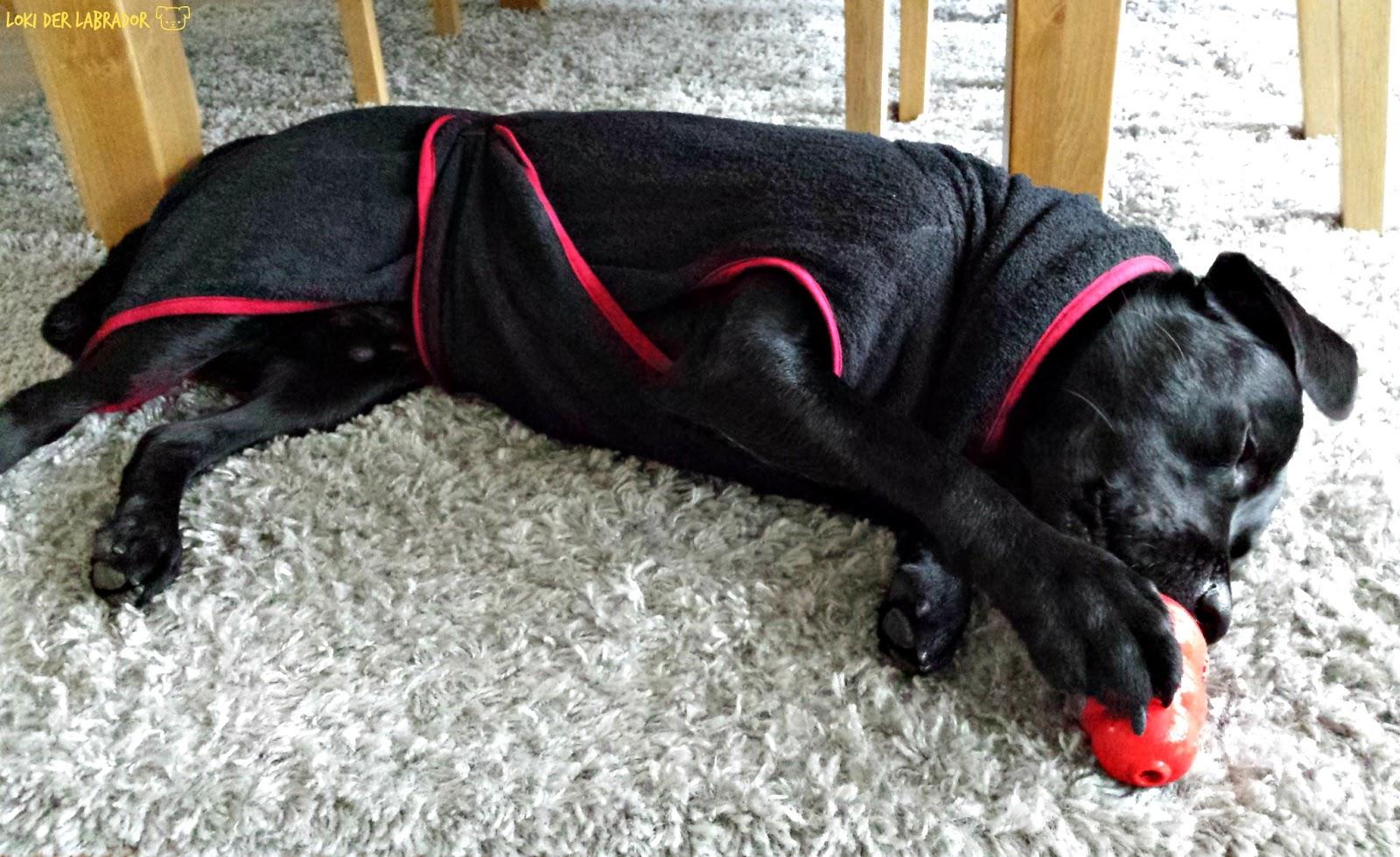 Schwarzer Labrador im Bademantel