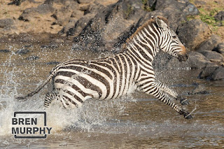 zebra crossing the mighty river