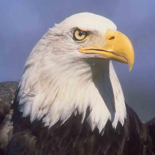 40 Lebih Foto Burung Elang Keren  Glmour Gallery Wallpaper