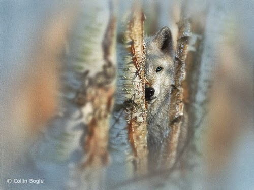 12-White-Wolf-Collin-Bogle-Animal-Wildlife-in-Art-www-designstack-co