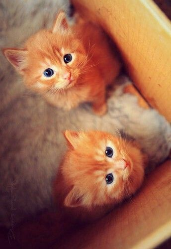 Adorable Two Ginger Cat