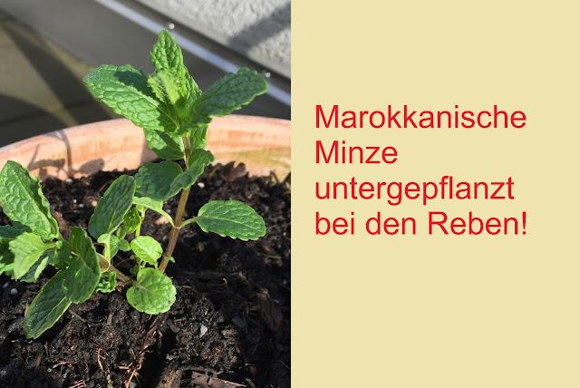 Marokkanische Minze bei Reben untergepflanzt
