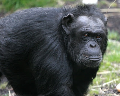 The 98 percent genetic similaritiy between chimpanzees and humans is false