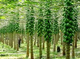 Dari sekian banyak jenis tumbuhan buah yang ada Pepaya, Tanaman buah manis dengan banyak faedah