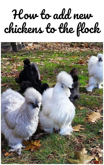 integrating new chickens