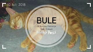 Kucing bule