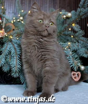 Katzenbaby Britisch Kurzhaar cinnamon aus der Tinjas Katzenzucht