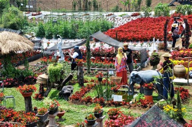liburan murah kebun bunga begonia